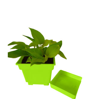 Good Luck Golden Money Plant In Green Square Colorista Pot
