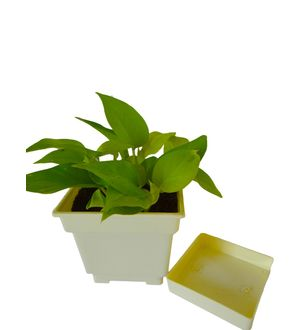 Good Luck Golden Money Plant in White Square Colorista Pot