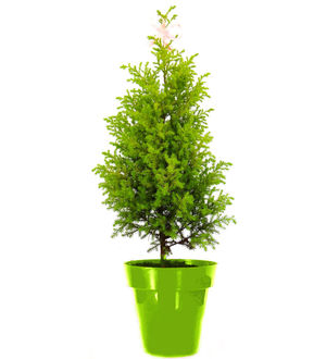 Christmas Tree in Green Colorista Pot
