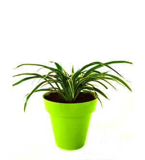 Spider Plant in Green Colorista Pot