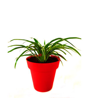 Spider Plant in Red Colorista Pot