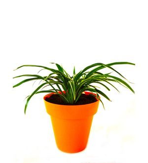 Spider Plant in Orange Colorista Pot