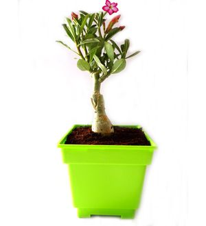 Adenium Bonsai in Green Square Colorista Pot