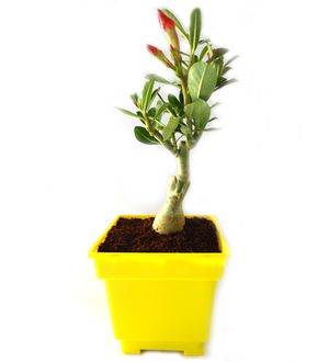 Adenium Bonsai in Yellow Square Colorista Pot