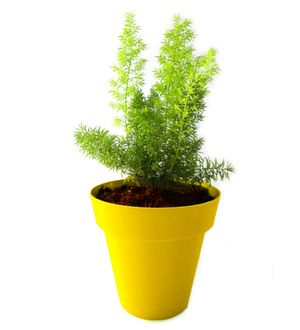 Asparagus Fern in Yellow Colorista Pot