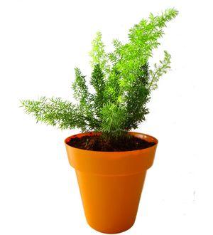 Asparagus Fern in Orange Colorista Pot