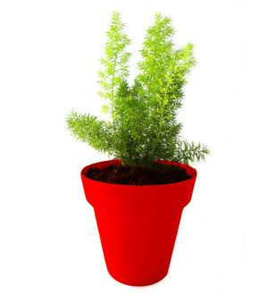 Asparagus Fern in Red Colorista Pot