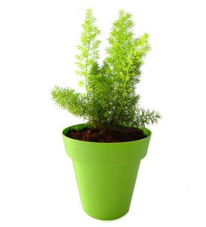 Asparagus Fern in Green Colorista Pot