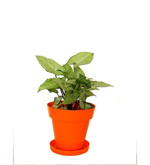 White Syngonium in Orange Colorista Pot