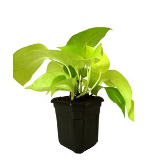 Good Luck Golden Money Plant in Black Hexa Pot