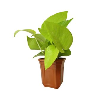 Good Luck Golden Money Plant in Brown Hexa Pot