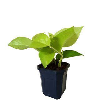Good Luck Golden Money Plant in Blue Hexa Pot