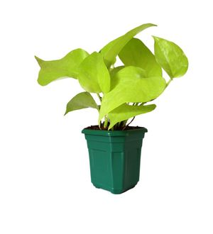 Good Luck Golden Money Plant in Green Hexa Pot