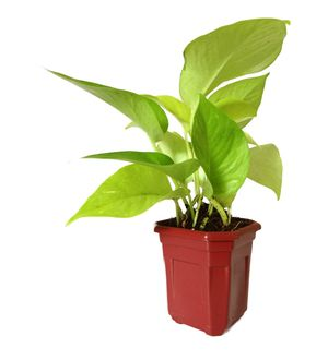 Good Luck Golden Money Plant in Maroon Hexa Pot