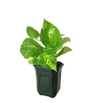 Good Luck Hybrid Money Plant in Black Hexa Pot