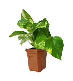 Good Luck Hybrid Money Plant in Brown Hexa Pot