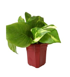 Good Luck Hybrid Money Plant in Maroon Hexa Pot