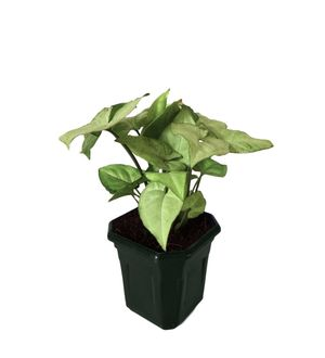 Syngonium White in Black Hexa Pot