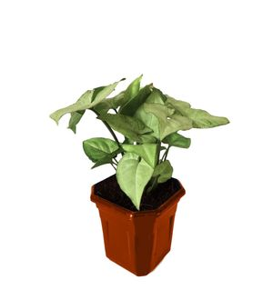 Syngonium White in Brown Hexa Pot