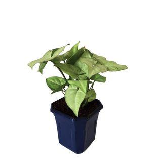 Syngonium White in Blue Hexa Pot