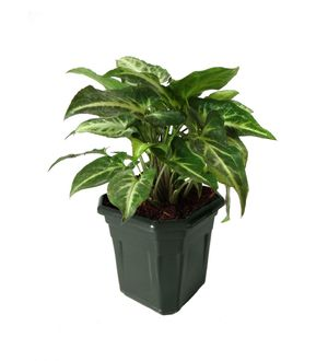 Syngonium Green in Black Hexa Pot