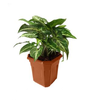 Syngonium Green in Brown Hexa Pot