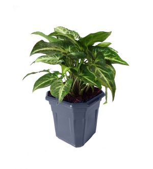 Syngonium Green in Blue Hexa Pot