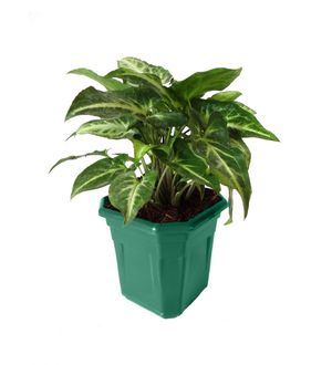 Syngonium Green in Green Hexa Pot