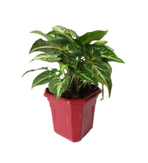Syngonium Green in Maroon Hexa Pot