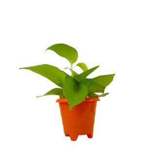 Good Luck Golden Money Plant in Orange Rainbow Pot