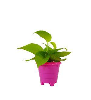 Good Luck Golden Money Plant in Pink Rainbow Pot