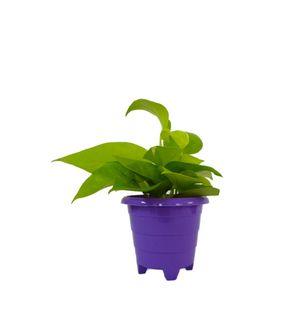 Good Luck Golden Money Plant in Violet Rainbow Pot