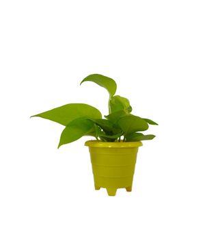 Good Luck Golden Money Plant in Yellow Rainbow Pot