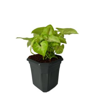 Syngonium Red Line in Black Hexa Pot
