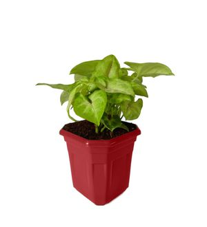 Syngonium Red Line in Maroon Hexa Pot
