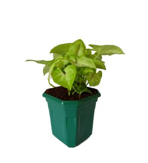 Syngonium Red Line in Green Hexa Pot