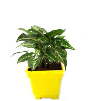 Syngonium Green in Yellow Square Colorista Pot