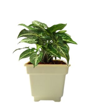 Syngonium Green in White Square Colorista Pot