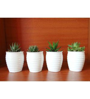 Exotic Haworthia Succulent Varieties in White Ceramic Pot Set of 4