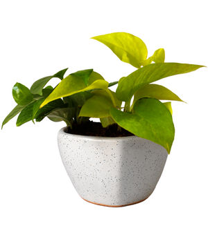 Good Luck Air Purifying Money Plants Duet in White Heart Ceramic Pot
