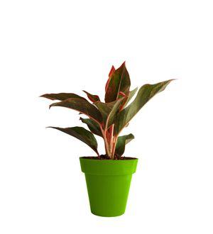 Red Aglaonema Siam Aurora (Chinese Evergreen) in Green Colorista Pot