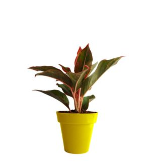 Red Aglaonema Siam Aurora (Chinese Evergreen) in  Yellow  Colorista Pot