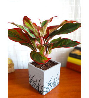 Rolling Nature Red Aglaonema Siam Aurora Chinese Evergreen Plant in White Square Aroez Ceramic Pot