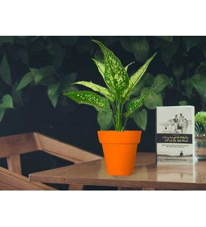 Aglaonema Green in Orange Colorista Pot