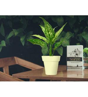Aglaonema Green in White Colorista Pot