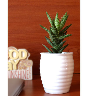 Rolling Nature Aloe Juvenna Succulent Plant in White Ceramic Pot