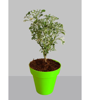 Rolling Nature Gold Aralia Plant in Small Green Colorista Pot