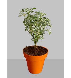 Rolling Nature Gold Aralia Plant in Small Orange Colorista Pot