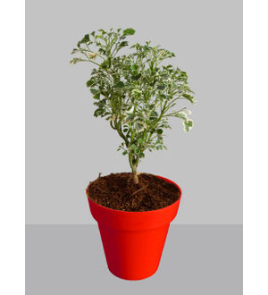Rolling Nature Gold Aralia Plant in Small Red Colorista Pot