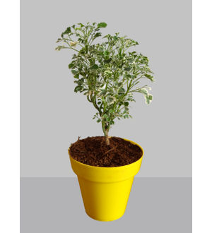 Rolling Nature Gold Aralia Plant in Small Yellow Colorista Pot